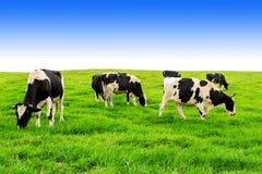 Коровы на зеленом поле и голубом небе Стоковые Фото