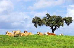 Коровы на зеленом поле Стоковые Фото