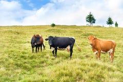 Коровы на зеленом поле Стоковое фото RF