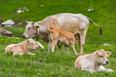Коровы на зеленом луге в высоких горах Пиренеи Стоковые Изображения RF