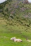 Коровы на зеленом луге в высоких горах Пиренеи Стоковое Изображение