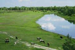 Коровы на зеленом луге лета Стоковые Изображения