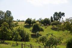 Коровы на зеленом холме Стоковая Фотография RF