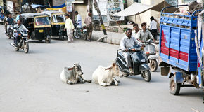 Коровы на индийских дорогах стоковые фотографии rf