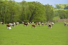 Коровы на красивом зеленом поле Стоковые Фото