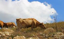 Коровы на луге лета ths против голубого неба Стоковые Изображения