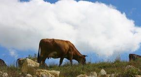 Коровы на луге лета ths против голубого неба Стоковая Фотография RF