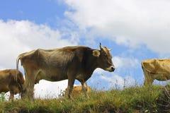Коровы на луге лета ths против голубого неба Стоковое Фото