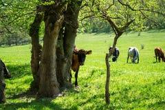 Коровы на лужке Стоковое Изображение