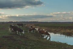 Коровы на моча месте на заходе солнца Стоковые Фотографии RF