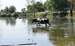 Коровы на моча чонсервной банке в сельском покинутом пруде Стоковое Изображение RF
