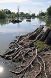 Коровы на моча чонсервной банке в сельском покинутом пруде Стоковые Фото