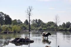 Коровы на моча чонсервной банке в сельском покинутом пруде Стоковые Изображения RF
