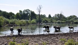 Коровы на моча чонсервной банке в сельском покинутом пруде Стоковая Фотография RF