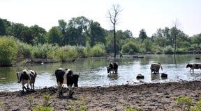 Коровы на моча чонсервной банке в сельском покинутом пруде Стоковые Изображения
