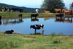 Коровы на мочить в лете Стоковое Изображение RF