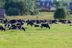 Коровы на обрабатываемой земле Стоковая Фотография RF