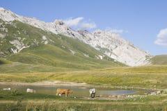 Коровы на озере Pietranzoni Стоковые Фото