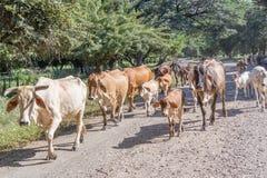 Коровы на дороге 39 в Никарагуа Стоковые Фотографии RF