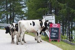 Коровы на дороге панорамы Goldeck в Австрии Стоковые Фотографии RF