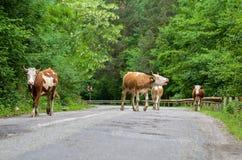 Коровы на дороге Стоковое Изображение