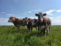 Коровы на островах оркнейских остров Стоковые Изображения RF