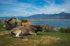 Коровы на острове St Ahileos на озере Prespa, Греции Стоковое фото RF