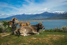 Коровы на острове St Ahileos на озере Prespa, Греции Стоковое Изображение RF