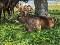 Коровы на острове St Ahileos на озере Prespa, Греции Стоковая Фотография RF