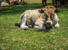Коровы на острове St Ahileos на озере Prespa, Греции Стоковые Фото