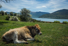 Коровы на острове St Ahileos на озере Prespa, Греции Стоковые Изображения RF
