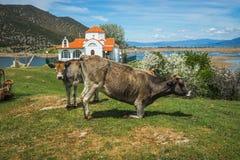 Коровы на острове St Ahileos на озере Prespa, Греции Стоковые Изображения