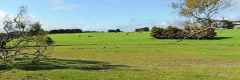 Коровы на панораме холма Стоковое Фото