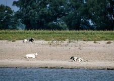 Коровы на песке пляжа Стоковое Изображение RF