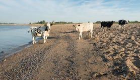 Коровы на песочном пляже реки Стоковая Фотография RF