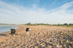 Коровы на песчаном пляже реки Стоковое Фото