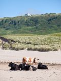 Коровы на пляже, антриме Стоковые Фотографии RF