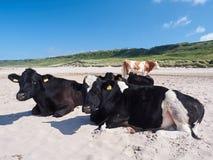 Коровы на пляже, антриме Стоковая Фотография RF