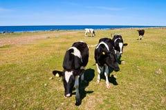 Коровы на пляже Стоковая Фотография