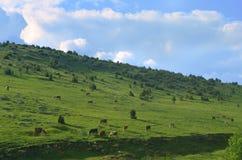 Коровы на поле горы Стоковые Фотографии RF