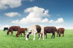 Коровы на поле фермы Стоковые Изображения RF