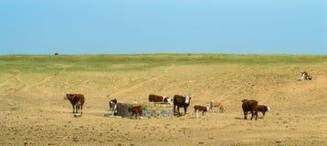 Коровы на поле Стоковое Фото