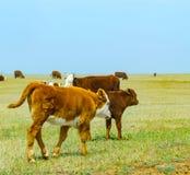 Коровы на поле Стоковое Изображение RF