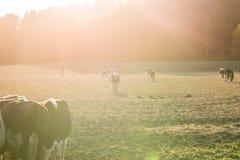Коровы на поле во время захода солнца Стоковая Фотография
