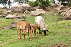 Коровы на поле зеленого цвета лета Стоковое Изображение RF