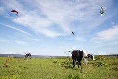 Коровы на поле около реки Стоковые Фотографии RF