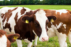 Коровы на поле, пася, молоко, молочные продучты Стоковые Фотографии RF