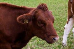 Коровы на поле, пася, доят голову молочных продучтов быка Стоковое Изображение RF