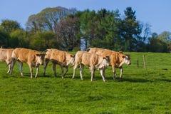 Коровы на поле травы - Бельгии Стоковые Изображения RF