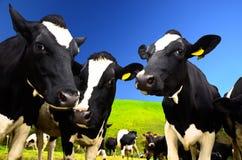 Коровы на поле Стоковые Фото